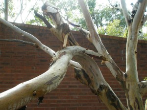 broken-gum-tree-branch