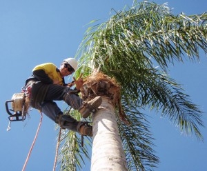 palm-tree-surgery-perth